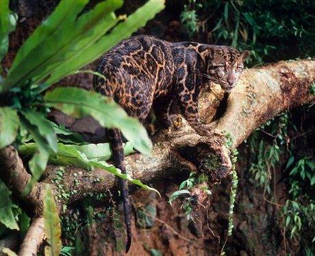 Борнейський димчастий леопард