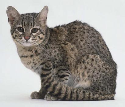 Дикий кіт Жоффруа