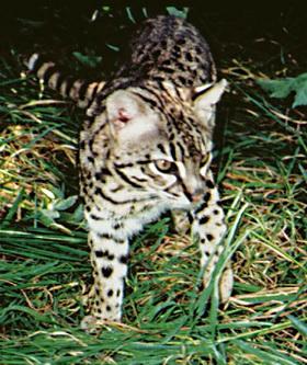 Леопард Жофруа