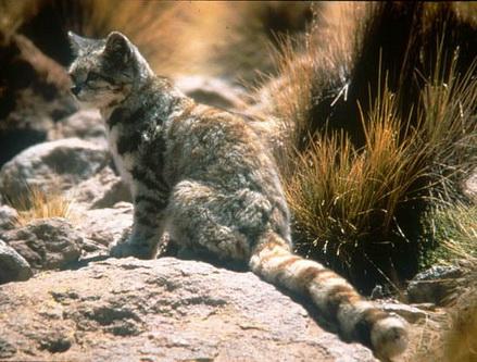 Андська кішка: профіль