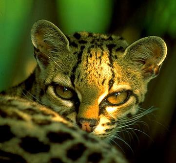 Леопард Віда