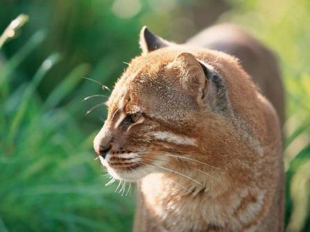 Азійська золотиста кішка