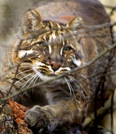 Азіайська золотиста кішка