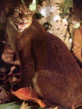 Калімантанська кішка