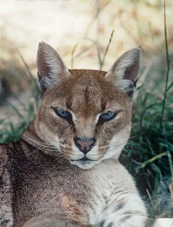 Золотиста кішка африканска золотиста