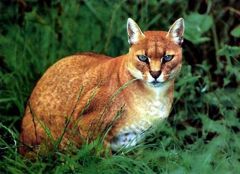 Африканська золотиста кішка