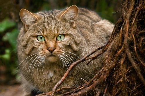 Шотландська лісова кішка, Felis silvestris grampia
