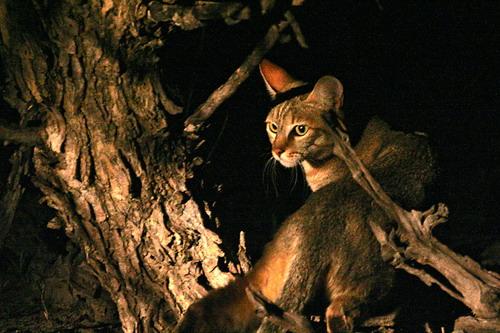 Африканська лісова кішка, Felis silvestris lybica