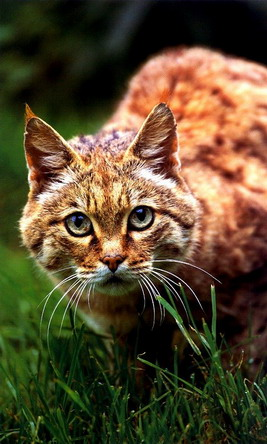Азійська лісова кішка, Felis silvestris ornata