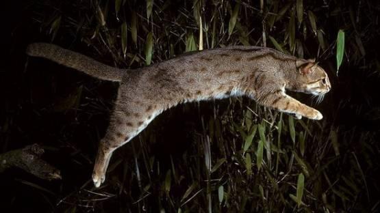 Плямисто-руда кішка у стрибку