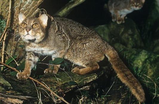 Плямисто-рудий кіт