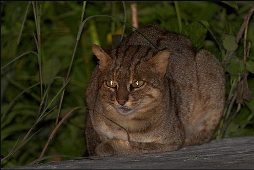 Плямисто-руда кішка