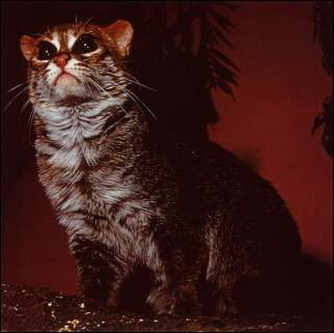 Суматранська кішка
