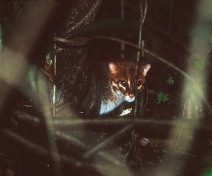 Плоскоголовий кіт