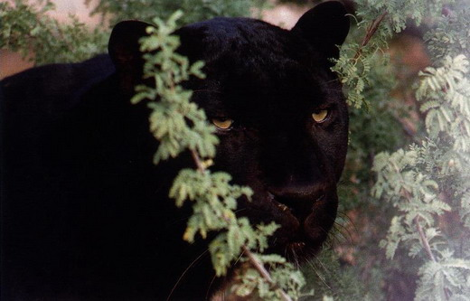 Ягуар: чорна пантера