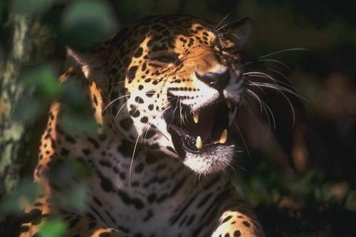 Ягуар  у затінку