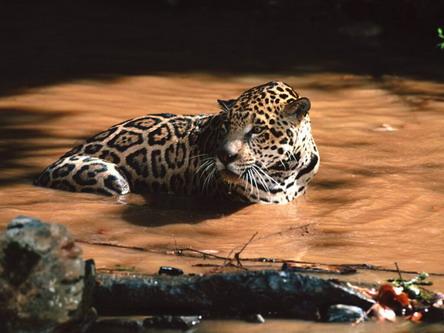 Ягуар у воді