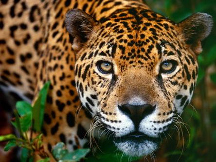 Гіпнотизуючий погляд ягуар