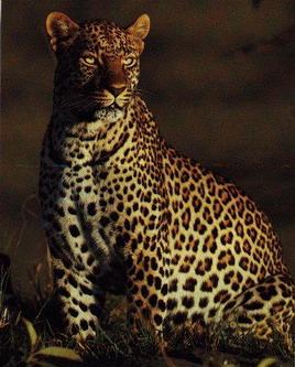Суровий леопард