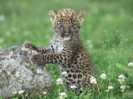 Чарівнооке дитя леопарда.