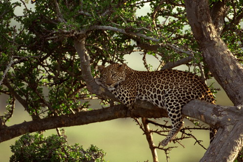Леопард на відпочинку