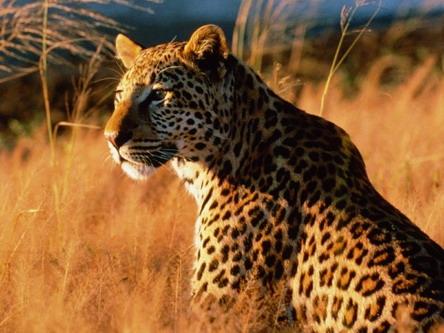 Леопард серед стиглого колосся