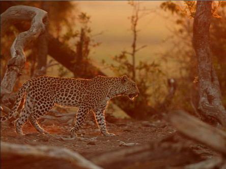 Леопард у променях західнього сонця