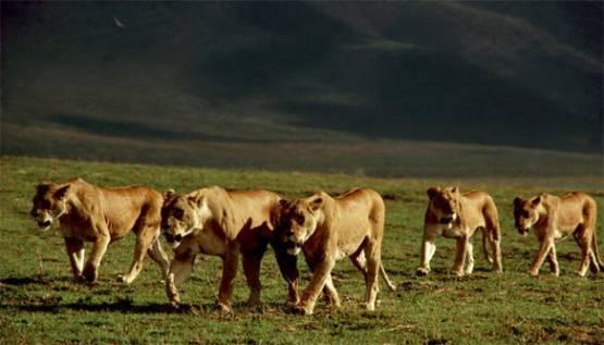 Загрозлива п'ятірка левиць