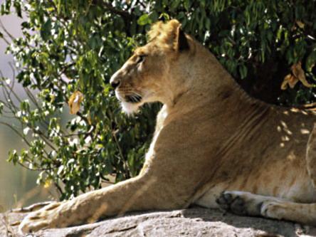 Лев у тіні сонячного дня
