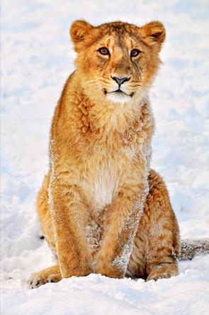 Засніжений лев
