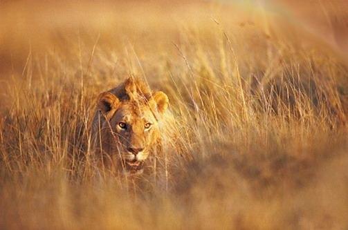 Левове маскування