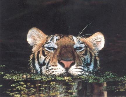 Тигр, що нагадує крокодила