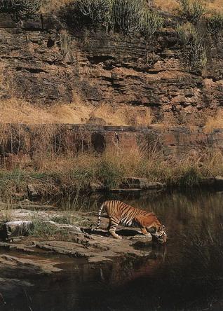 Тигр на водопої