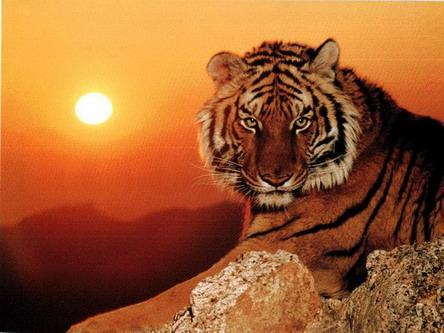 Тигр на фоні західнього сонця