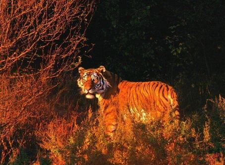 Тигр рудого вечора