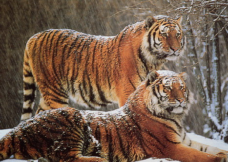 Тигри під мокрим снігом