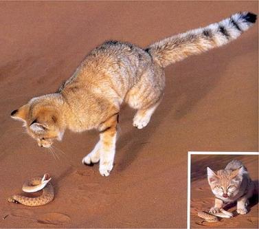 Барханний кіт впольовує невелику змію
