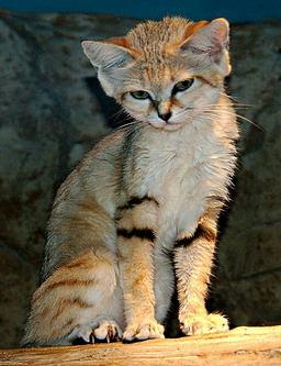 Барханний кіт трошки зніяковів
