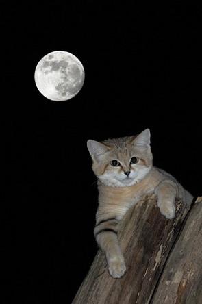 Барханний кіт і місяць