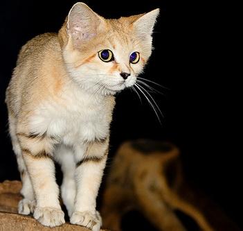 Барханний кіт