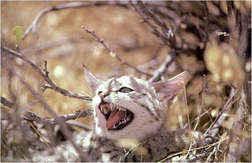 Барханний кіт у чагарнику