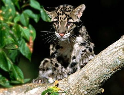 Димчастий леопард