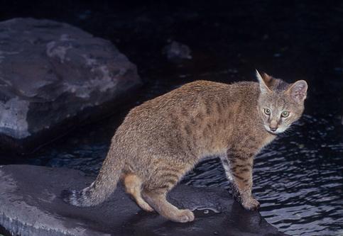 Хаус, Очеретяний кіт