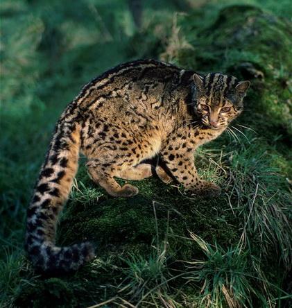 Мармурова кішка