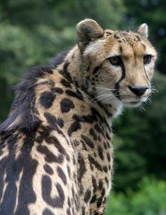 Королівський гепард