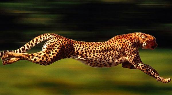 Швидкість гепарда