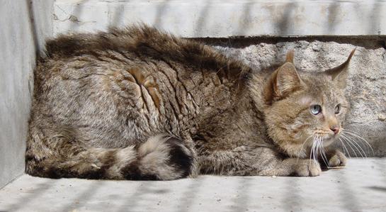 Кіт китайський