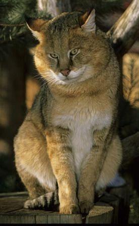 Очеретяний кіт