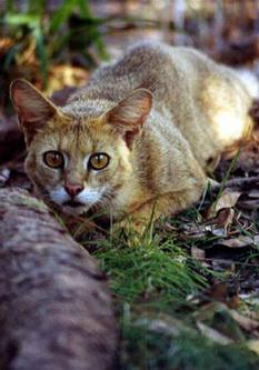 Очеретяний кіт готовий нанести удар