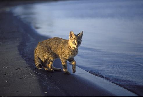 Очеретяний кіт на березі мертвого моря